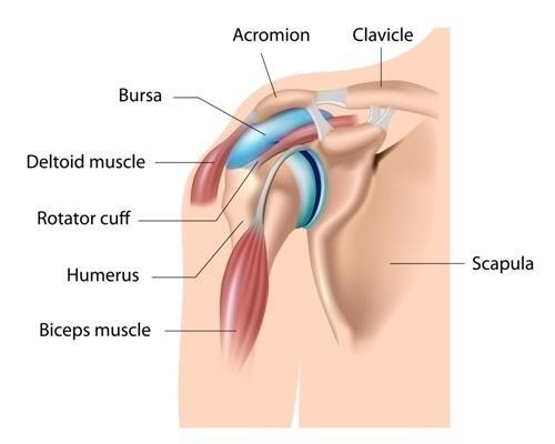 omuz-anatomisi